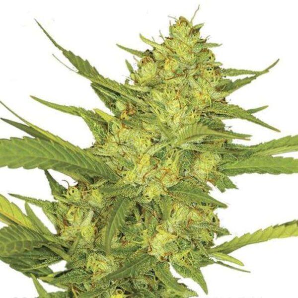 Sour Diesel Fem Seeds