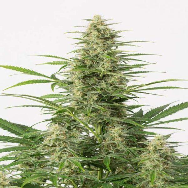 Sour Diesel Seeds Autoflowering